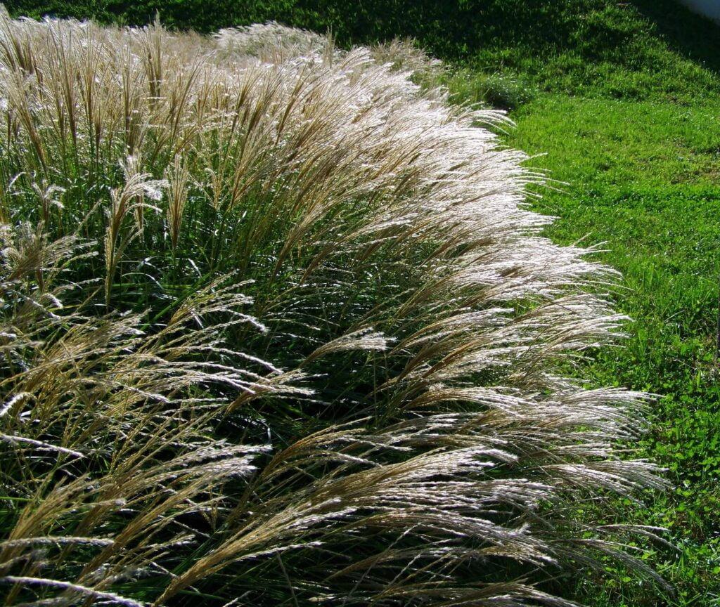 Siergrassen en vaste planten
