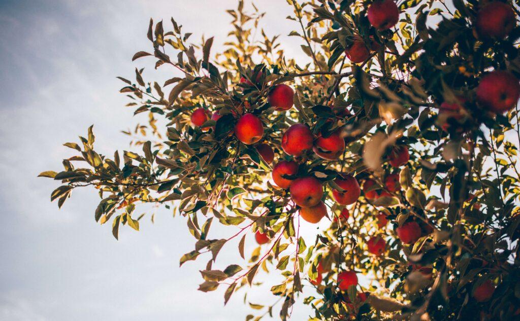 Fruitboom kwekerij Brabant
